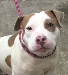 ***TO BE DESTROYED 04/23/17*** BAM BAM - Young Adult - Pit Bull Terrier Mix - 17332 - She loves people, handles great, likes to cuddle - #17332 - FOR MORE PICS, VIDEOS & INFO: http://www.dogsindanger.com/dog/1485022031020