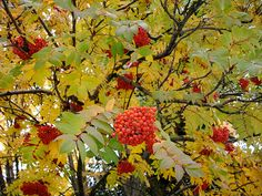 Mountain Ash tree (Sorbus) - aka as the Rowan tree ... yellow to orange fall leaf color with beautiful large clumps of red/orange berries in fall through winter. Especially found in cooler/higher elevation areas along the Blue Ridge Parkway in NC (near Mt. Pisgah, Craggie Gardens/Craggie Pinnacle and Mt. Mitchell).