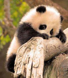 This is soooooo adorable I want a baby Panda