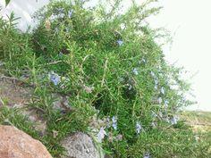 Ramas de romero rastrero de la zona del olivo Villa, Olive Tree, Branches, Plants, Flowers, Fork, Villas