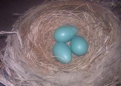 June 12th - 3 beautiful blue eggs found in a lovely nest above the garage door opener.