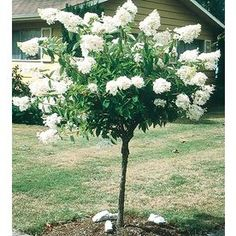 5.5-Gallon White Peegee Hydrangea Tree Flowering Shrub (L9285) Nursery