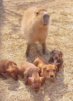 {a Capybara + her Dachshund puppies!!!} Cheesecake the Capybara is helping out a bunch of wee doxies - how adorable is this!