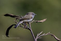 Grey warbler by scsutton Animals Photography #InfluentialLime