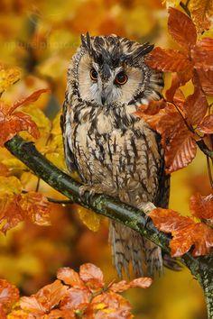 Owl in Autumn  Pinned by www.myowlbarn.com
