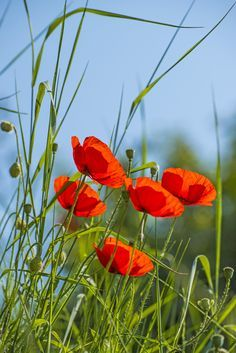 Poppy, group of flowers with grass and blue sky Poppy Photography, Nature Photography, Flower Feild, Pink Poppies, Flower Aesthetic, Flower Pictures, Belle Photo, Watercolor Flowers, Wild Flowers