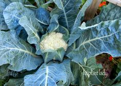RAMBLINGS FROM A DESERT GARDEN....: A Cauliflower Harvest and How to Get Your Kids to Love It