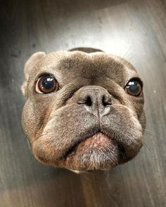 The major breeds of bulldogs are English bulldog, American bulldog, and French bulldog. The bulldog has a broad shoulder which matches with the head. Cute French Bulldog, French Bulldog Puppies, Cute Dogs And Puppies, Baby Dogs, I Love Dogs, French Bulldogs, Doggies, Cute Little Animals, Cute Funny Animals