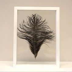 Zwarte struisvogelveer ingelijst in een wit, houten lijst van 30 x 40 cm.
