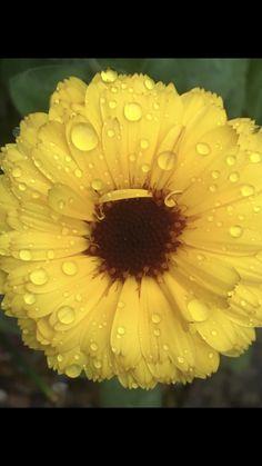 "🌱 🐈 Annette 🧵 🧟♀️ on Twitter: ""#FlowersOnFriday #Raindrops Sunshine on a rainy day 💛🌻… """