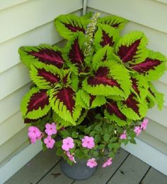 Coleus with impatiens. I need a place to put it that it won& fr. Coleus with impatiens. I need a place to put it that it won& fry! Container Flowers, Container Plants, Container Gardening, Beautiful Gardens, Beautiful Flowers, Small Yard Landscaping, Landscaping Ideas, Farmhouse Landscaping, Driveway Landscaping
