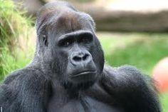 de gorilla is een heel groot dier, het mannetje is zwaarder dan het vrouwtje. het mannetje is ongeveer 180 kilo en het vrouwtje ongeveer 90 kilo. ze eten allerlei planten en hij wordt ook bedreigd er zijn nog maar 35.000 van op de wereld.