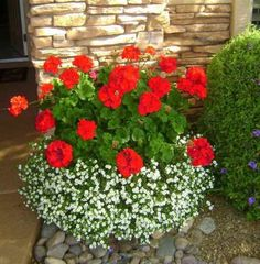Bacopa and geraniums are the best potted plants Garden Design Container, Gardening flowers, Containe Container Flowers, Flower Planters, Container Plants, Container Gardening, Flower Pots, Geranium Planters, Succulent Containers, Outdoor Flowers, Outdoor Planters