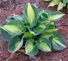 """Hosta 'Lakeside Cupcake' AHeight 5"""" Spread 12"""" Full-Part Shade. Zones 3-9. An award winning small hosta that is the perfect size for troughs or other small containers. Nearly round leaves emerge in spring with blue-green margins and gold centers.     •As the leaves mature, they become cupped with blue margins, creamy white centers, and green jetting between the two     •Pale lavender flowers"""