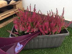 Jednoduchý trik, ako docieliť, aby vám vresy nevysychali a kvitli celú sezónu Oregon, Gardening, Flowers, Plants, Floral, Lawn And Garden, Royal Icing Flowers, Florals, Flower