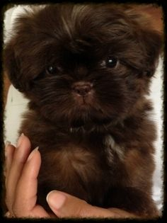 Chocolate shih poo puppies cute tiny chocolate shih tzu looks a lot