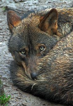 Iberian wolf (Canis lupus signatus) by Joke Kok Wolf Spirit, Spirit Animal, Wolf Pictures, Animal Pictures, Beautiful Creatures, Animals Beautiful, Tier Wolf, Animals And Pets, Cute Animals