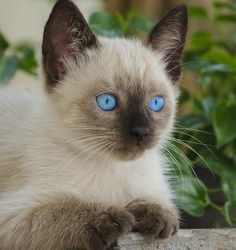 Siamese kitten with beautiful blue eyes. - Untitled by Enzo Davide Siamese Kittens, Cute Cats And Kittens, I Love Cats, Crazy Cats, Kittens Cutest, Tabby Cats, Funny Kittens, Bengal Cats, Pretty Cats