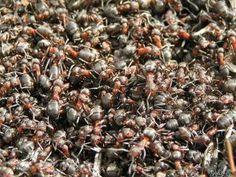 Hausmittel gegen Ameisen in Haus und Garten - und hier: http://www.agoodtired.com/the-easiest-safest-most-effective-diy-ant-killer/