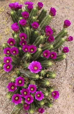 I wonder if this would survive in that sandy dry corner where nothing seems to grow.  hedgehog cactus, azstarnet.com