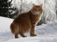 The Kurilian Cat breed is considered one of the rare breeds. It is a bit similar to the American Bobtail breed, but more like the wild cats with slight Rare Cats, Exotic Cats, Cats And Kittens, Kitty Cats, Bobtail Japonais, Salmon Cat, American Bobtail Cat, Gatos Cool, Japanese Bobtail