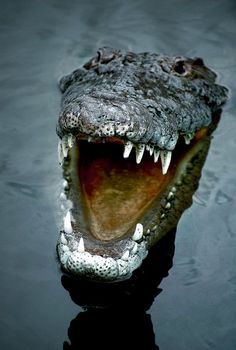Never smile at a crocodile. (this is an alligator) Nature Animals, Animals And Pets, Cute Animals, Wild Animals, Reptiles And Amphibians, Mammals, Beautiful Creatures, Animals Beautiful, Le Zoo