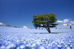 ひたち海浜公園「みはらしの丘」 #HitachiSeasidePark #Nemophila #Hitachinaka Ibaragi