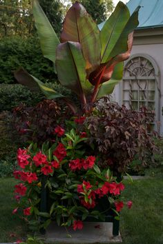 Such a beautiful container garden to do!Mandevilla 'Sunmandecrim', Ensete ventricosum 'Maurelii' with a red foliage Hibiscus in a container Container Flowers, Container Plants, Tropical Garden, Tropical Plants, Red Banana Tree, Banana Plants, Red Banana Plant, Palm Plant, Garden Planters