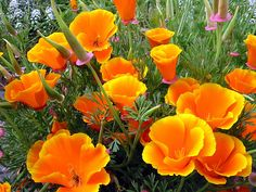 Eschsolation garden flowers resemble poppy seeds, but only in the shape of bowls . Flora Flowers, Flowers Nature, Beautiful Flowers, California Garden, California Poppy, Medicinal Plants, Flower Photos, Orchids, Poppies