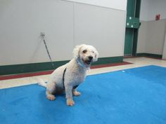 This is Toby, he is a very sweet 8yr old Bichon poodle mix. He was originally a stray from Fall River, and no one has come to claim him. He is very sweet and will do well in most homes with kids over five.
