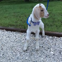 I'm a dapper little goat. Blue stripped bow tie. I love to run outside. #goatsofinstagram #goat #goatmom #musically