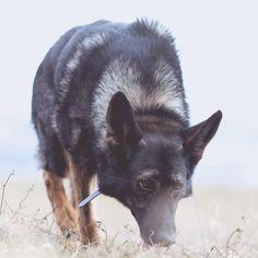 Teetektor am Werk 😎. Hunde sind Nasentiere. Im Gegensatz zu uns Menschen werden in 33% des Hundehirns Gerüche verarbeitet, bei uns Menschen sind es nur 5%. Hunde haben insg. 1094 Riechrezeptorgene, wir Menschen 802. Die Riechschleimhaut von Hunden ist 67-200cm2 groß, unsere nur 3-10cm2. Sie können bis zu 300mio. Riechzellen haben, wir nur 5mio. Sie besitzen 100-150 Riechhaare pro Riechzelle, wir nur 6-8. ...Hunde sind Nasentiere und sie können damit unglaubliches vollbringen 👃🏼 ⭐️… Lisa, Dogs, Animals, Instagram, People, Pet Dogs, Animales, Animaux, Doggies
