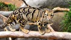 "https://flic.kr/p/63LchN | unreal coat | clouded leopard San Diego Zoo <a href=""http://www.flickriver.com/photos/brodmanns17/3313039738/#large"">View large on black</a>"