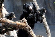 Mama Sloth Bear, Hani, at Brookfield Zoo helping her cubs with climbing Sloth Bear, Bear Cubs, Bears, Brookfield Zoo, Chicago Magazine, Pretty And Cute, Black Bear, Hani, Climbing