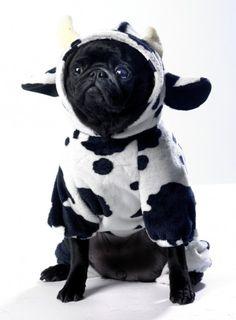 a pug dressed as a cow.