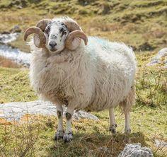 Sheep on the Isle of Harris, North-West Scotland Isle Of Harris, Sheep And Lamb, Vintage Knitting, Lambs, North West, Goats, Scotland, Knitting Patterns, Nature