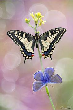Due bellissime farfalle una macaone e una licedine si scaldano le ali con i…