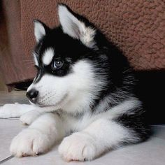 Wonderful All About The Siberian Husky Ideas. Prodigious All About The Siberian Husky Ideas. Basenji Puppy, Rottweiler Puppies, Labradoodle Puppies, Cute Husky Puppies, Husky Puppy, Huskies Puppies, Teacup Puppies, Baby Puppies, Bulldog Puppies
