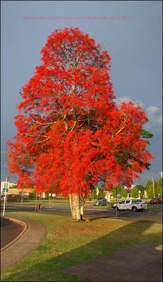 Illawarra Flame Tree up to x Spectacular tree that varies in size, depending on the environment. Large fig-like leaves that drop annually. Vivid red bell-shaped flowers appear on bare tree between Oct and Mar.