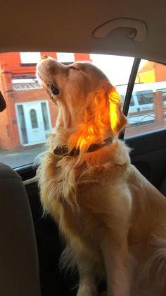 Golden retriever. I am a dog, I am a friend, I am noble.
