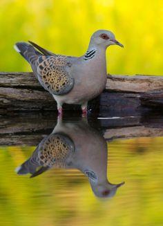 "Tortora Comune / Turtle dove and his reflection. / Photo ""European Turtle Dove"" by József Bodó Kinds Of Birds, Love Birds, Beautiful Birds, Animals Beautiful, Small Birds, Pet Birds, Dove Pigeon, Mourning Dove, Turtle Dove"