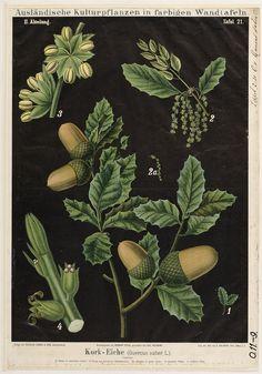 Zippel, Hermann und Carl Kork-Kork-Eiche, Quercus super, Bollmann (serie 'Ausländische Culturpflanzen in bunten Wandtafeln') Vieweg, Friedrich, & Sohn, Braunschweig, 1896