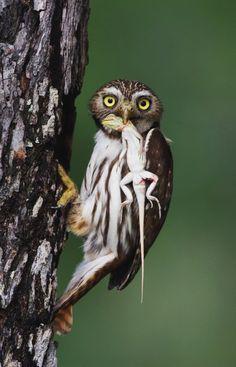Ferruginous Pygmy-Owl, Glaucidium brasilianum