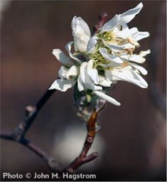 Downy Serviceberry - Amelanchier arborea Arbor Day Foundation, Fruit Love, Arbour Day, Downy, New Green, Red Berries, Native Plants, Shrubs, White Flowers