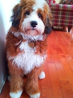Bernerdoodle---Have spent the whole day searching the internet for a goldendoodle in the 3 different states, maybe I didn't find one because I should be looking for one of these instead!!