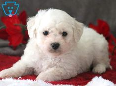 This is a very loving & playful Bichon puppy who is cute as a button! He is a delightful little puppy who will crave your attention and be the apple Bichon Puppies For Sale, Dogs For Sale, Dogs And Puppies, Cavapoo Puppies, Puppys, Retriever Puppy, Dogs Golden Retriever, Baby Kittens, Cats And Kittens