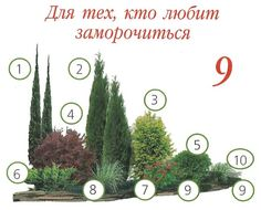 "1. Juniper of the rock ""Blue Arrow"" 2. Thuja western ""Holmstrup"" 3. Thuja western ""Europe Gold"" 4. Barberry Tunberg ""Red Chief"" 5. Thuja western ""Globosa"" 6. Juniper medium ""Gold Star"" 7. Japanese spirea ""Little Princess"" 8. Junipers horizontal ""Blue Chip"" 9. Juniper horizontal ""Prince of Wales"" 10. Osoka Morrova (or similar cereals)"