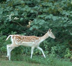 Fallow deer can be seen near Woodlands Nature Station and in their backyard as well.