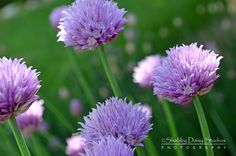 Purple Blooming Chives