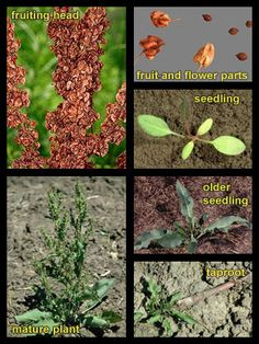 Long list of weeds, but no pic on main page. Life stages of Curly dock
